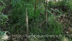 Bambou coupé repousse