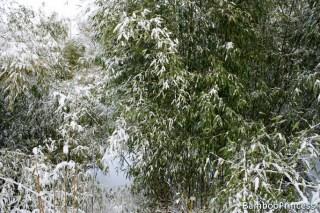 bambus w zimie