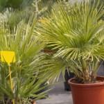 Uprawa palm w donicy – przygotowanie do zimowania