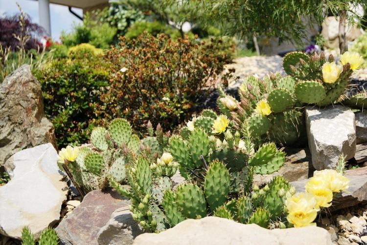 Opuncja ogrodowa - uprawa w gruncie