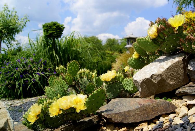 Opuncja ogrodowa - uprawa