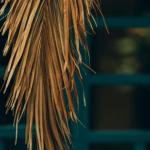 Co zrobić z usychającymi liśćmi palmy?