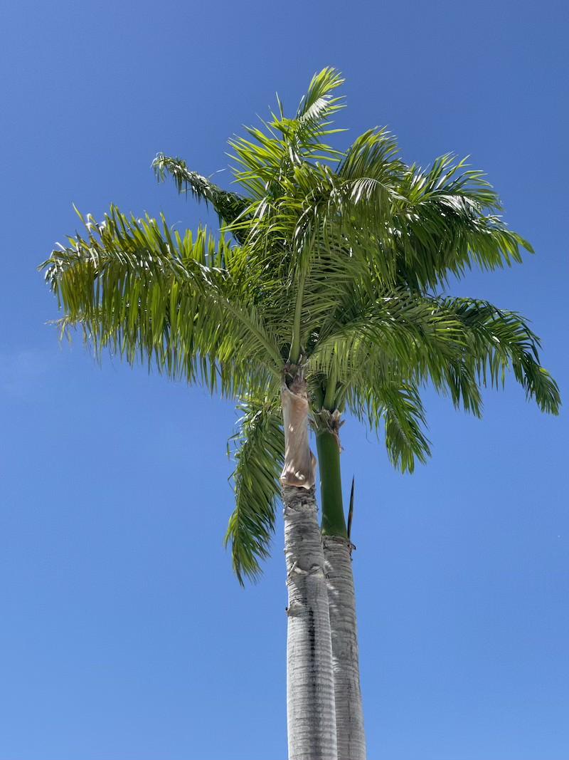 roystonea-regia-palma-kubańska