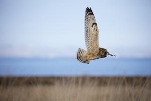 short-eared-owl-1225961_640