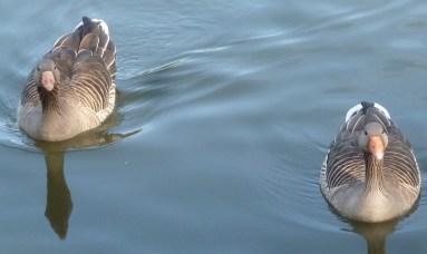 Zwei Wildgänse auf dem Weg zur Insel im Seilersee