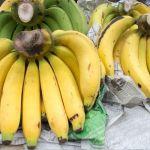 el Mal de Panamá coloca en riesgo el banano del trópico