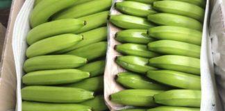 Continúa en riesgo la producción bananera mundial
