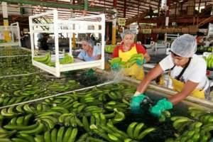 Importación de banano de la UE supera récord