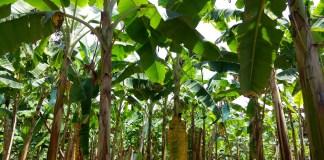 finca de banano