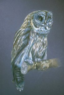 Great grey owl, 2002, Colored pencil on paper, 18″x24″. Copyright Rebe Banasiak, The Brush Hilt and Banasiak Art Gallery.