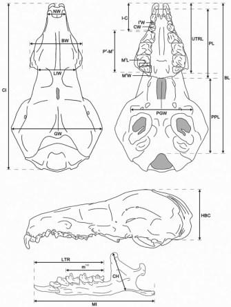 FMNH 177684 Congosorex philipsorum. Copyright Rebe Banasiak, The Brush Hilt and Banasiak Art Gallery.
