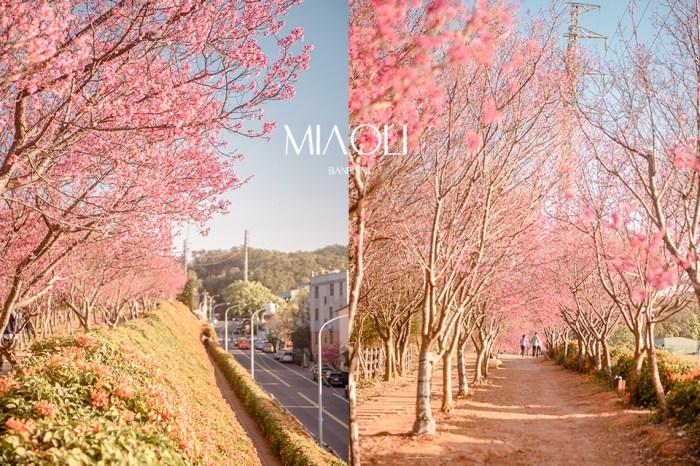 苗栗銅鑼炮仗花海公園-橘黃炮仗花步道、櫻花走廊,數百公尺超美雙色花瀑布