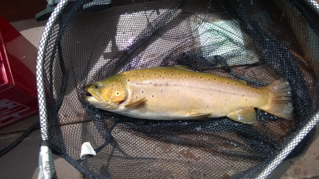 BAC Corbet Lough Brown Trout 4lbs 2ozs caught by Stephen Rea
