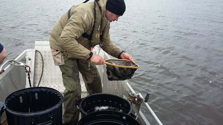 BAC Roger McClements stocking fingerling Brown Trout at Corbet Lough on 11 April 2018