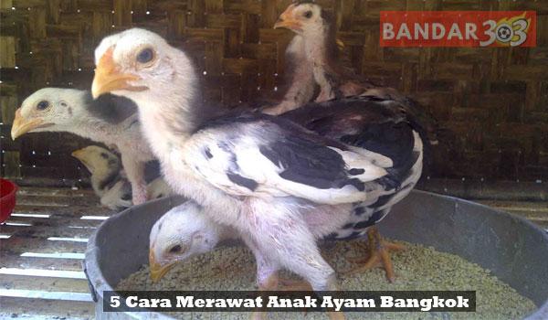 5-Cara-Merawat-Anak-Ayam-Bangkok-Agar-Cepat-Tumbuh-Besar