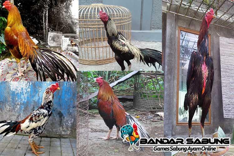 5 Ayam Bangkok Aduan Dengan Harga Fantastis