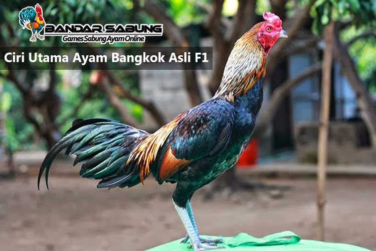 Ciri Utama Ayam Bangkok Asli F1