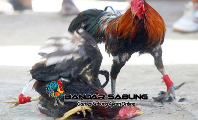 Cara Membuat Ayam Aduan Menjadi Garang dan Sangar - Sabung Ayam Online