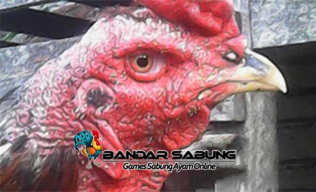 Pengobatan Penyakit Kurap Pada Ayam Aduan