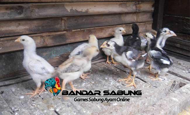 Rahasia Merawat Anak Ayam Bangkok Agar Cepat Besar