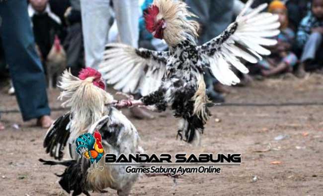 Ciri Ciri Ayam Bangkok Aduan Pukulan Pembunuh