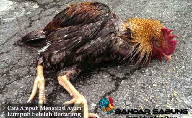 Cara Ampuh Mengatasi Ayam Lumpuh Setelah Bertarung