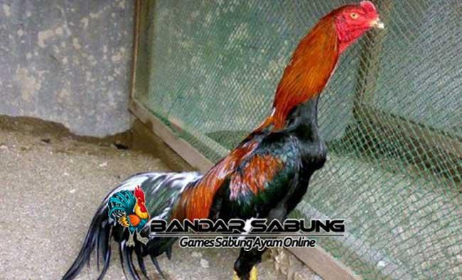 Keistimewaan dan Kelemahan Ayam Suro Rembes