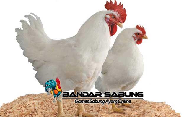 Mempelajari Ternak Ayam Pedaging Dengan Hasil Maksimal