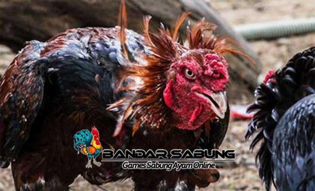 Tips Pengobatan Korep Pada Ayam Aduan Yang Ampuh