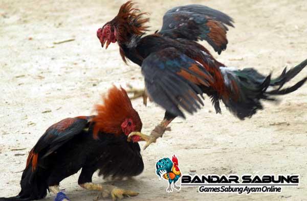 Teknik Melatih Patukan Mematikan Ayam Bangkok