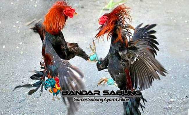 Cara Cerdik Mengalahkan Ayam Lawan Di Arena Sabung Ayam