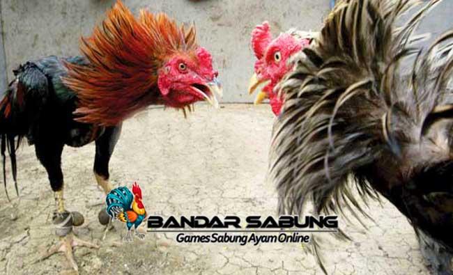 Cara Merawat Ayam Aduan Usai Diadu di Arena Sabung Ayam