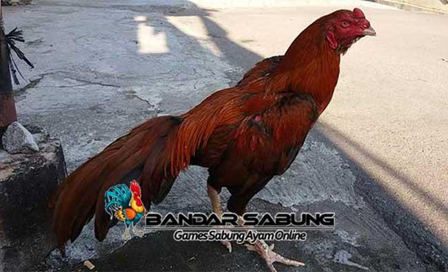 Cara Merawat Ayam Bangkok Agar Kuat dan Sehat
