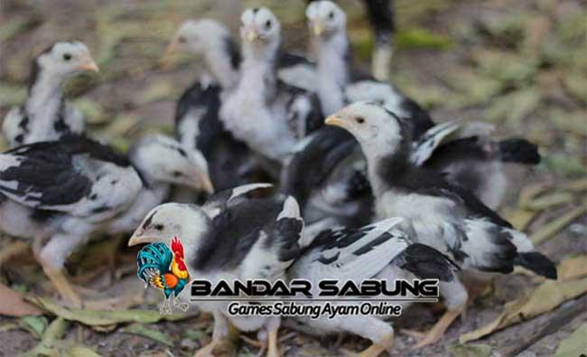 Ciri Anak Ayam Bangkok Berkualitas dari Fisik