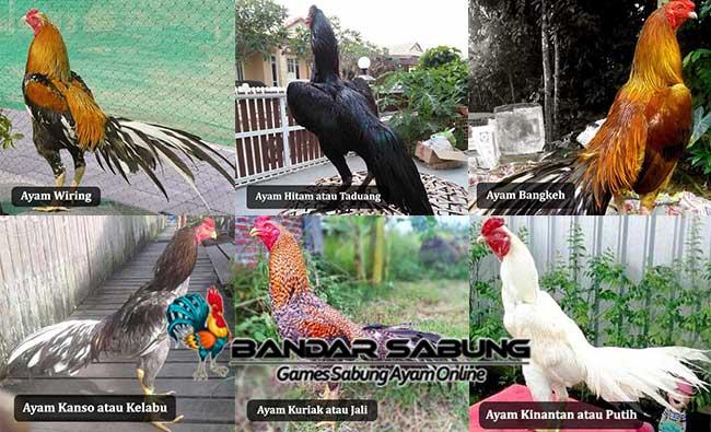 Katuranggan Jenis Ayam Bangkok Berdasarkan Warna Bulu