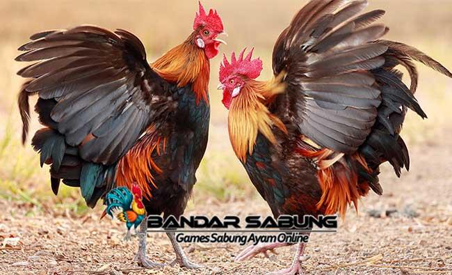 cara sukses ternak ayam aduan superior yang bisa Anda terapkan sendiri untuk memulai atau mengembangkan bisnis ayam Anda.