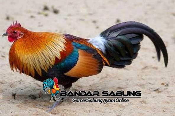 Ayam tanau mungkin menjadi salah satu Ayam bersuara merdu yang belum banyak dikenal terutama bagi pecinta unggas di pulau jawa