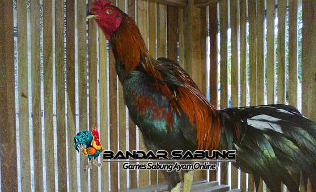 Ayam Bangkok Khas Blitar Untuk Sabung Ayam