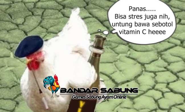 Cara Mengobati Ayam Aduan Stres