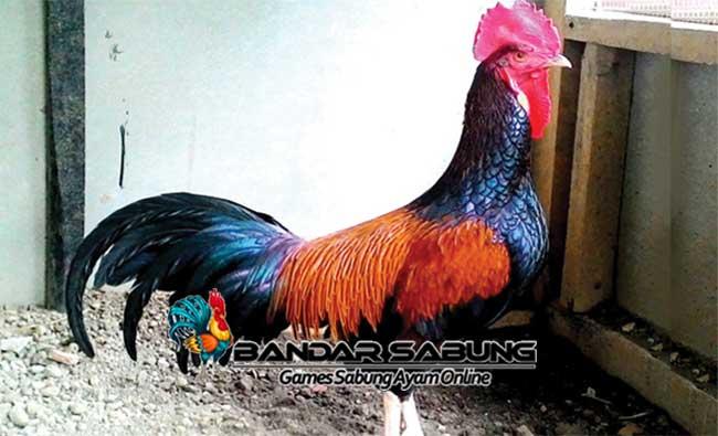 Asal Usul Dan Kumpulan Jenis Ayam Bekisar