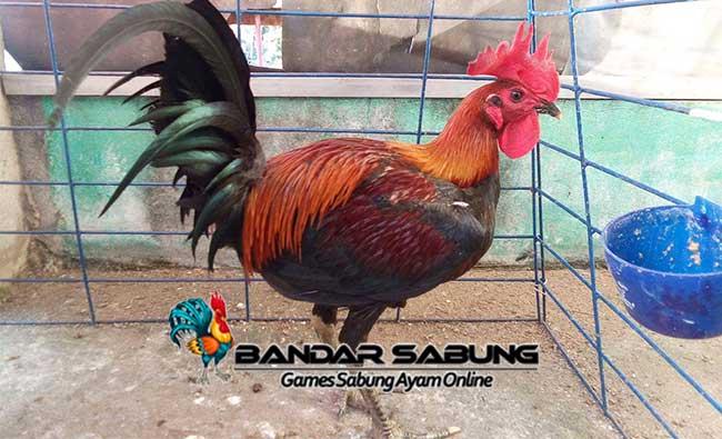 Keunggulan atau kelebihan Ayam Peru atau Peruvian