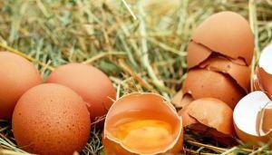 Manfaat Kulit Telur Untuk Ayam Bangkok Aduan