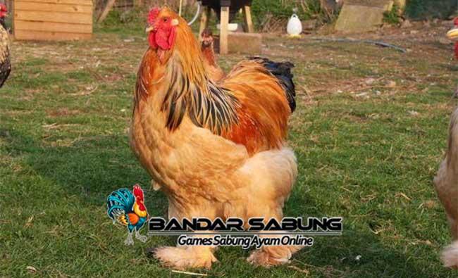 Mengenal Ayam Brahma Beserta Ciri-Cirinya