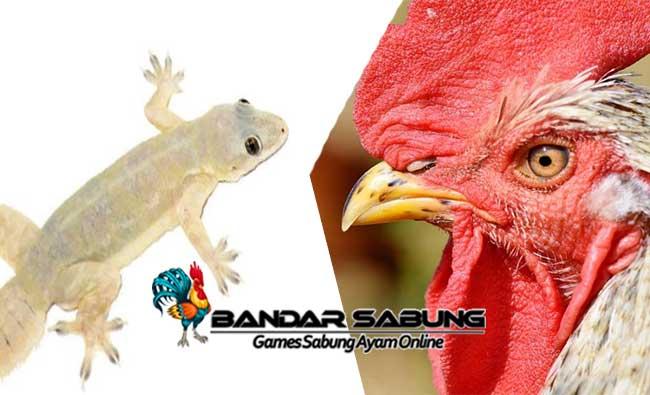 Manfaat Ekor Cicak Untuk Ayam Aduan Yang Belum Banyak Diketahui
