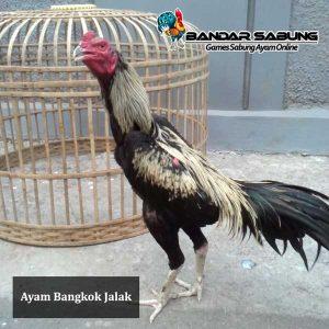 Ayam-Bangkok-Jalak