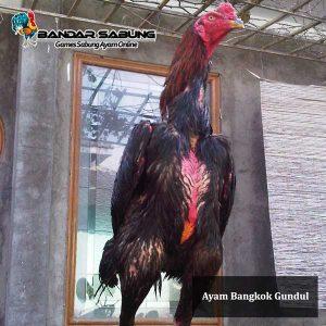 Ayam-bangkok-Gundul