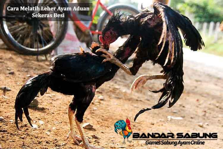 Cara Melatih Leher Ayam Aduan Sekeras Besi - Sabung Ayam Online