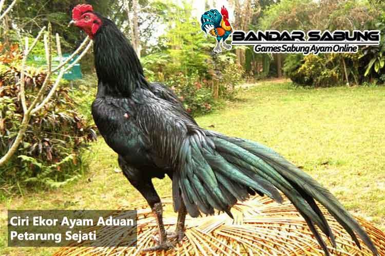 Ciri Ekor Ayam Aduan Petarung Sejati