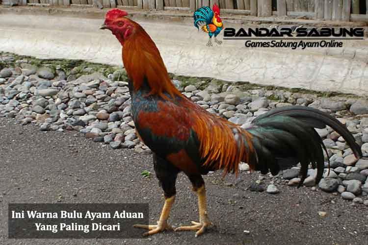 Ini Warna Bulu Ayam Aduan Yang Paling Dicari - Sabung Ayam Online