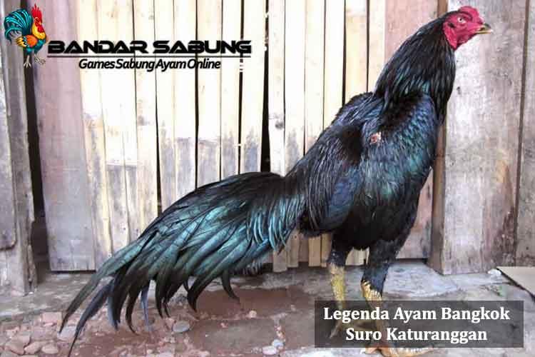 Legenda Ayam Bangkok Suro Katuranggan - Sabung Ayam Online
